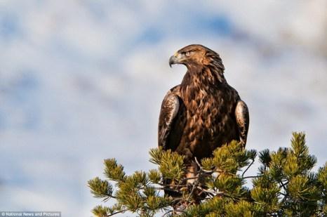 Высматривающий добычу беркут. Размах крыльев такой крупной птицы, как беркут, может иногда превышать два метра. И зрение у него, прямо скажем, «орлиное».  Беркут может рассмотреть маленького зайчишку в снегу с двухкилометрового расстояния. У хищника есть даже «солнцезащитные очки». Ведь именно для этого он имеет «брови» - перья, всегда «нахмуренные» над  глазами. Никто не может скрыться от  такого экипированного охотника. Фото: Ричард Костин