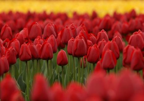 Тюльпаны в полном цвету в Тоёко. Фото: Buddhika Weerasinghe / Getty Images