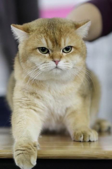 Портрет современного кота. Британский короткошерстный кот. Фото: Сергей Кузьмин/Великая Эпоха (The Epoch Times)