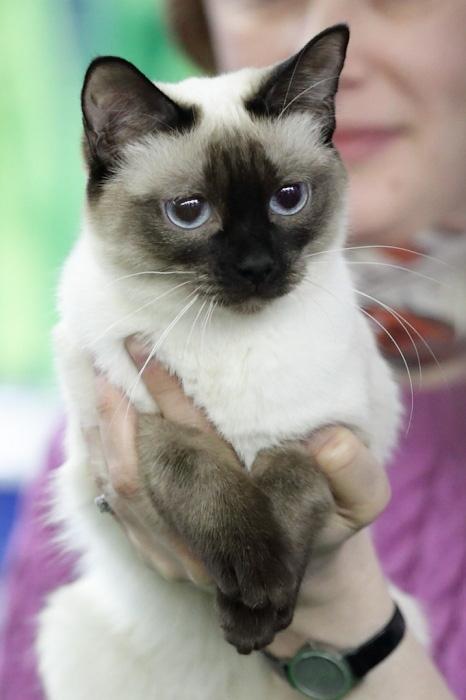 Портрет современного кота. Тайская кошка. Фото: Сергей Кузьмин/Великая Эпоха (The Epoch Times)