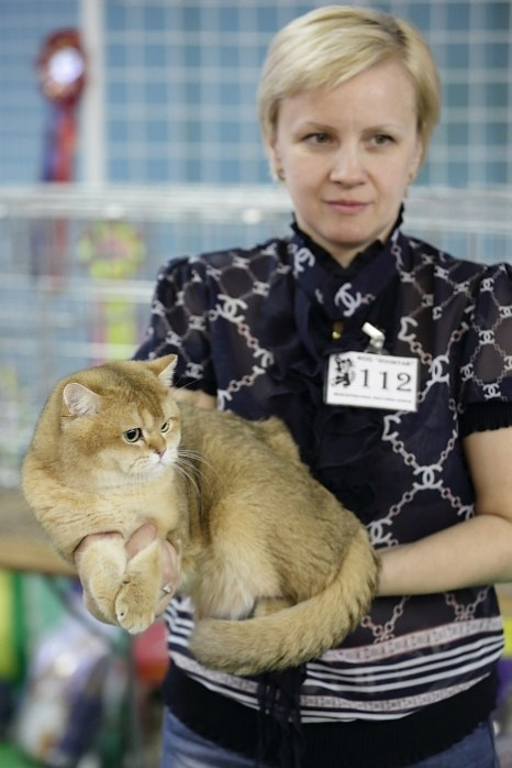 Портрет современного кота. Британский короткошерстный кот. Чёрный золотой тикированный. Фото: Сергей Кузьмин/Великая Эпоха (The Epoch Times)