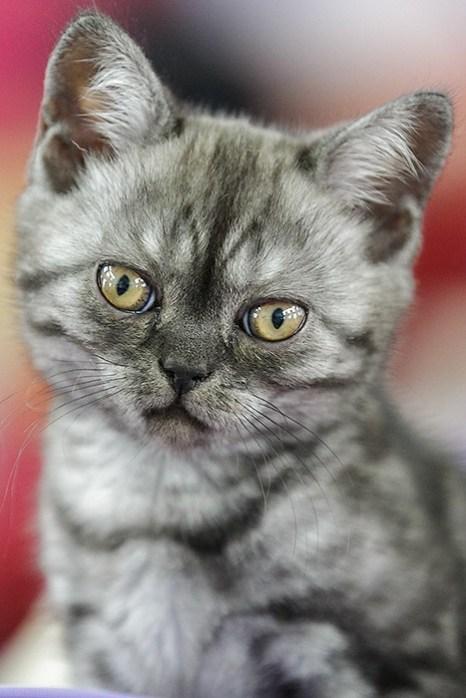 Портрет современного кота. Британ. Фото: Сергей Кузьмин/Великая Эпоха (The Epoch Times)