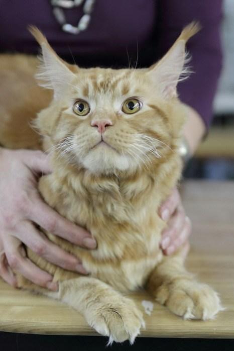 Портрет современного кота. Мэйн-кун кот. Фото: Сергей Кузьмин/Великая Эпоха (The Epoch Times)