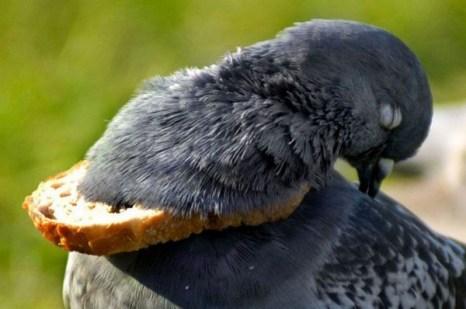 Бублик, найденный в парке, наделся на  шею голубя, когда он  подбросил его вверх. Теперь голубь  носит свой обед с собой, но не может его съесть.  Фото с kanzhongguo.com