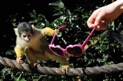 Обезьяне в Лондонском зоопарке очень понравились солнцезащитные очки. Фото с kanzhongguo.com