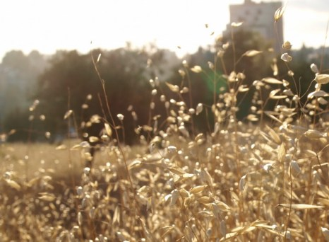 Дикие растения «золотого» города. Овес бесплодный или овсюг. Фото: Хава ТОР/Великая Эпоха