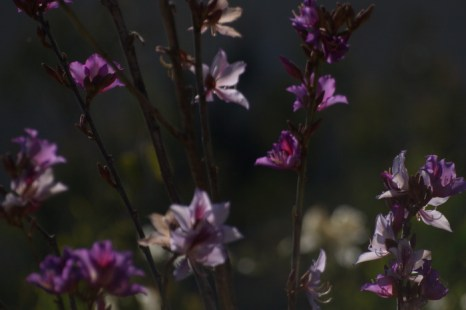 Баугиния цветущая. Фото: Хава Тор/Великая Эпоха (The Epoch Times)
