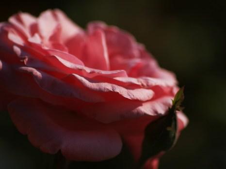 Фотобукет роз к Дню Влюблённых. Фото: Хава Тор/Великая Эпоха (The Epoch Times)