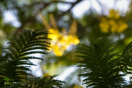 Цезальпиния. Фоторассказ. Фото: Хава Тор/Великая Эпоха (The Epoch Times)