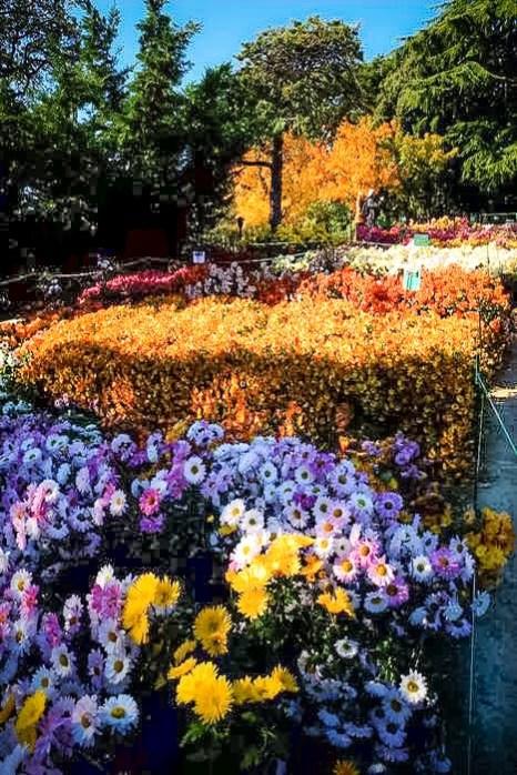 «Бал хризантем» в Никитском ботаническом саду. Мелкоцветные сорта. Фото: Алла Лавриненко/Великая Эпоха (The Epoch Times)