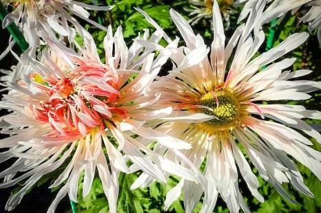 «Бал хризантем» в Никитском ботаническом саду. Королева 2009 г. Ласточка (Янь-Цзы).Фото: Алла Лавриненко/Великая Эпоха (The Epoch Times)