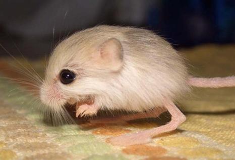 Маленький тушканчик. Фото: Bell Pletsch/Wikimedia Commons