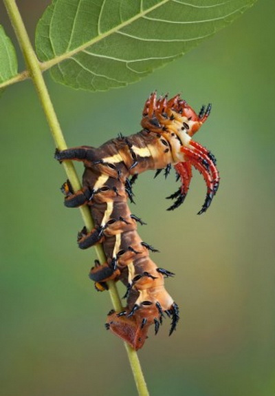 Гусеница цекропия. Фото: Shutterstock*