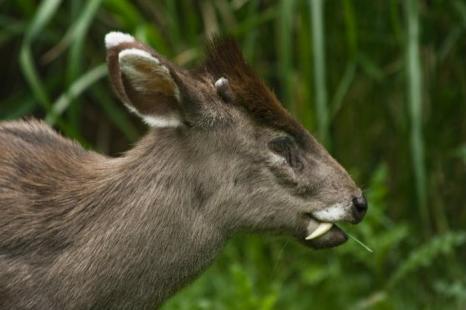 Хохлатый олень. Фото: Shutterstock*