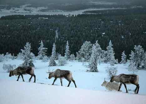 Олени на горе, Леви, Финляндия. Фото: О.М./commons.wikimedia.org