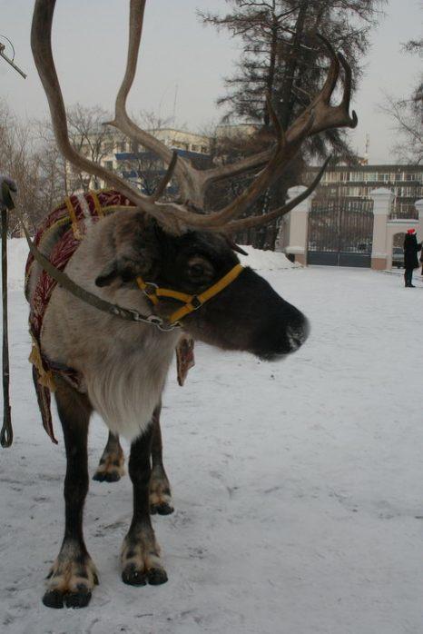 Северный олень может прокатить всех желающих. Фото: Оксана Торбеева/Великая Эпоха (The Epoch Times)