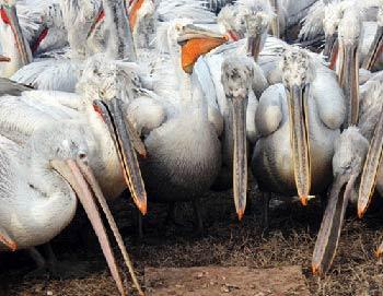 Зимовка пеликанов в порту Махачкалы. Фото РИА Новости