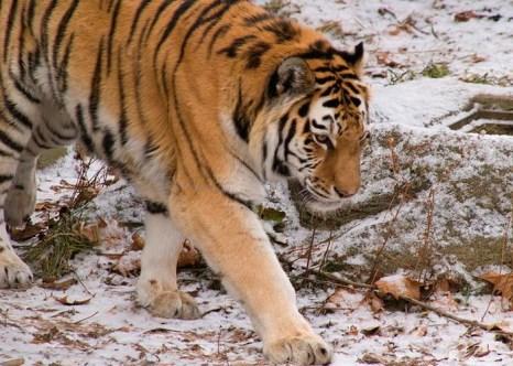 Амурский тигр, который похитил и съел несколько собак в одном из населённых пунктов Приморья, обошёл ловушки и скрылся в лесу. Фото: Jцshua Barnett/flickr.com