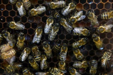 Медоносные пчёлы на 15-й Национальной выставке сельского хозяйства «Золотая осень 2013» в Москве 9 октября 2013 года. Фото: KIRILL KUDRYAVTSEV/AFP/Getty Images