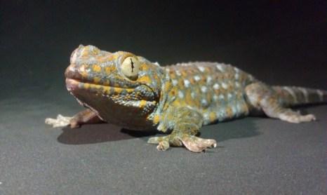 Тропический геккон (ящерица). Фото: Алисса Старк