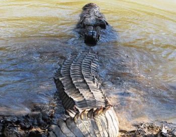 3,8 метровый самец эстуаринского крокодила погружается обратно в воду после того, как ему прикрепили спутниковый передатчик для отслеживания его передвижений. Фото с сайта theepochtimes.com