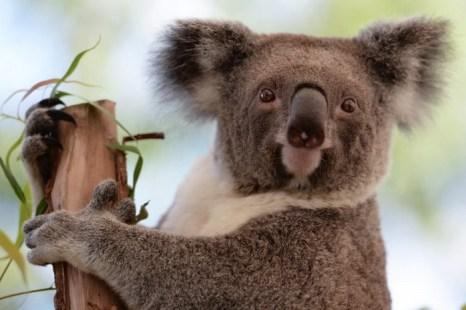 Коала сидит на ветке в зоопарке в Сиднее, Австралия, 24 апреля 2013 г. Исследователи обнаружили важную информацию об иммунной системе коал. Фото: GREG WOOD/AFP/Getty Images