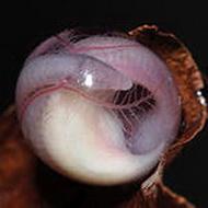 Юная червяга в своей оболочке. Фото:images.yandex.ru