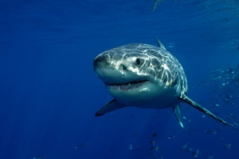 Биологи установили генетическое сходство человека и акулы. Фото: Shutterstock