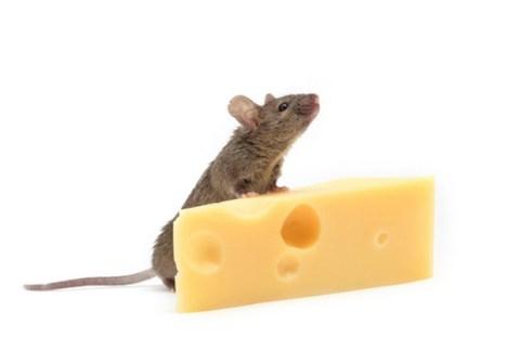 Мышь с сыром. Фото: Shutterstock*
