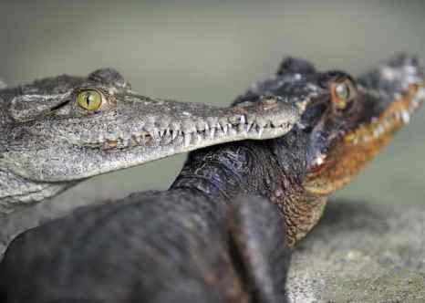 Крокодилы. Фото: YURI CORTEZ/AFP/Getty Images