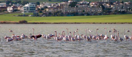 Фламинго на Соленом озере в Ларнаке, Кипр. Фото: Michael Palis/Photos.com