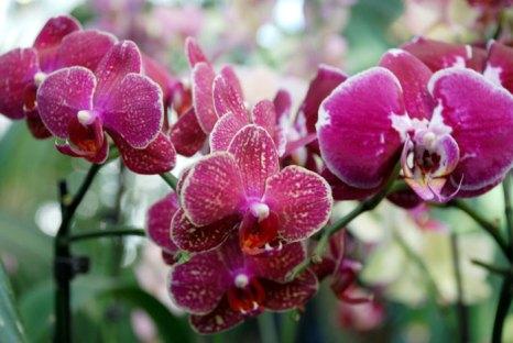 Орхидеи известны в первую очередь как красивоцветущие декоративные растения, являются излюбленными оранжерейными растениями. Особую популярность снискали виды родов Каттлея, Дендробиум, Фаленопсис. Фото: Юлия Цигун/Великая Эпоха (The Epoch Times)