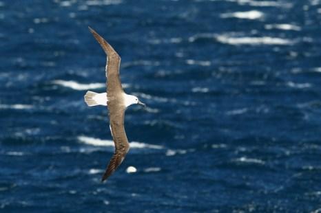Альбатрос из Новой Зеландии. Фото: Cameron Spencer/Getty Images