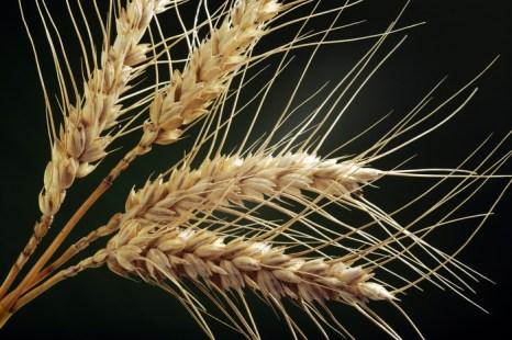 В России началась уборка урожая зерновых.Фото: JEAN-PIERRE MULLER/AFP/Getty Images