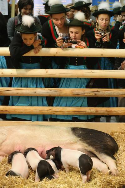 Международная сельскохозяйственная выставка-ярмарка в Берлине, 18 января 2013 года. Фото: Sean Gallup / Getty Images