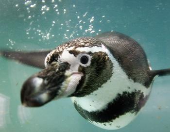 Пингвин Гумбольта. Фото: JOERG KOCH/AFP/Getty Images