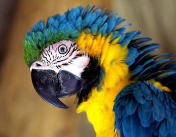 Попугай. Фото: YURI CORTEZ/AFP/Getty Images