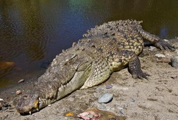 Мексиканские спасатели поймали крокодила на городском пляже. Фото: Ronaldo Schemidt/AFP/Getty Images