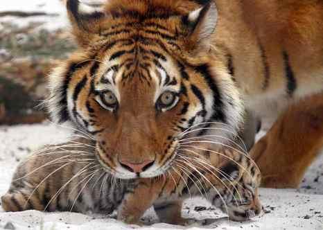 Одному из новорождённых тигрят в зоопарке «Сафари» дадут имя Аделина. фото: PATRICK BERNARD/AFP/Getty Images