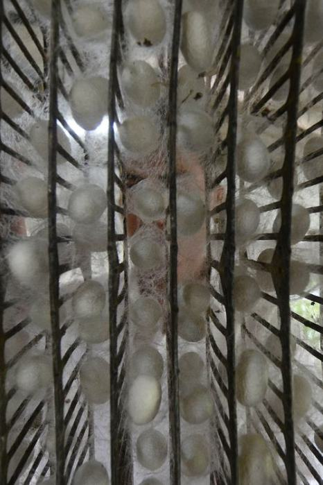 Коконы шелкопряда проверяются перед обработкой в индонезийском Богоре 21 декабря 2013 года. Фото: Nurcholis Anhari Lubis/Getty Images