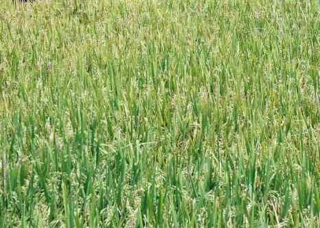 Бескрайние рисовые поля. Фото: NOAH SEELAM/AFP/Getty Images