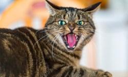 кошка, животные, видео