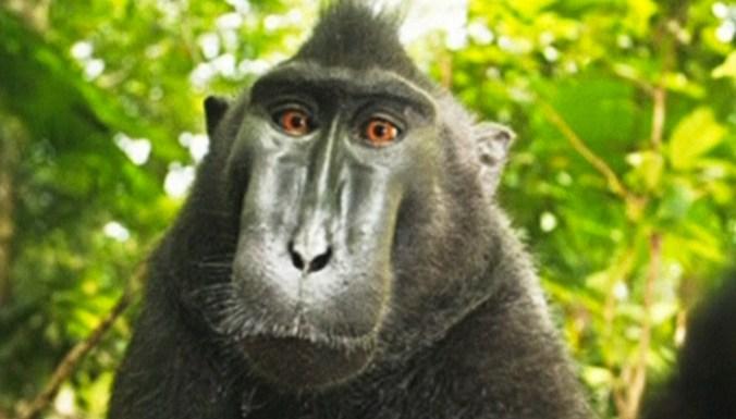 Фотограф будет судиться с Википедией из-за селфи, сделанного макакой
