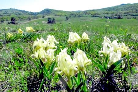 Дикие ирисы на плато Ай-Петри. Фото: Алла Лавриненко/Великая Эпоха