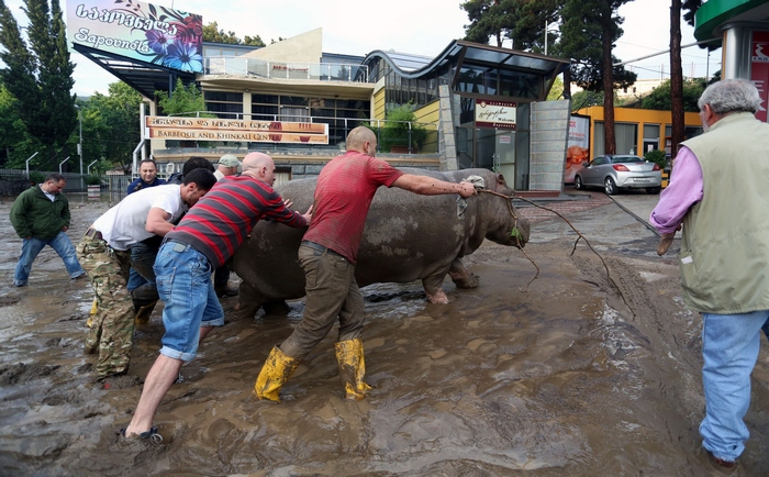 Local residents push a hippopotamus along a flooded street in Tbilisi on June 14, 2015. Tigers, lions, jaguars, bears and wolves escaped on June 14 from flooded zoo enclosures in the Georgian capital Tbilisi, the mayor's office said. Some of the animals were captured by police while others were shot dead, the mayor's office told local Rustavi 2 television. At least eight people have drowned and several others are missing in the Georgian capital Tbilisi in serious flooding. AFP PHOTO / BESO GULASHVILI        (Photo credit should read BESO GULASHVILI/AFP/Getty Images)