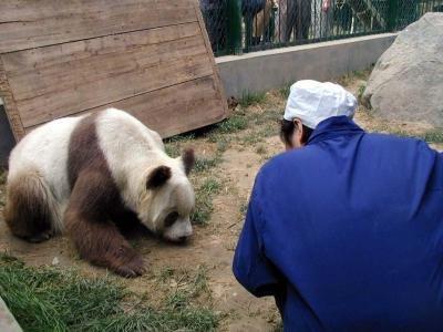 brown-white-panda-China-rare-4