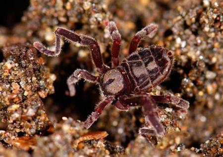 Ricinulei-Spider