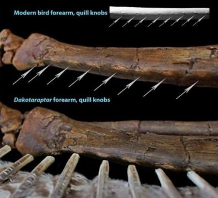 Маховые бугорки для крепления перьев у дакотараптора соответствуют аналогичным у современных птиц. Фото: Robert DePalma