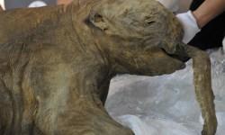 древние люди охотились мамонтов в Сибири