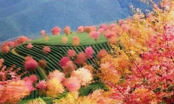 Цветение вишен в горах Улян, провинция Юннань. Фото: Secret China